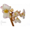 Begonia species Africa edenia