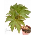 Begonia species 'Caudex A1'
