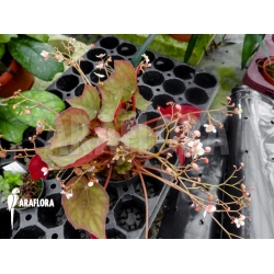 Begonia species unknown