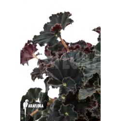 Begonia x Dark Mambo