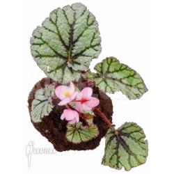 Begonia x Fedor