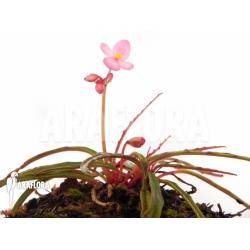 Begonia x Paulita flower detail