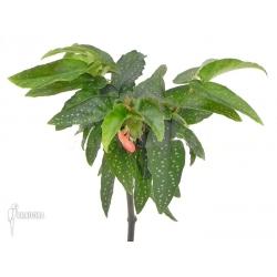 Begonia x Tamaya small purple