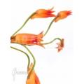 Orchidee 'Bifrenaria aureo-fulva' Starter'