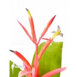 Billbergia leptopoda flower