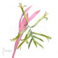Bromelia 'Billbergia nutans'
