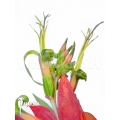 Bromelia 'Billbergia x windii (nutans x decora)'