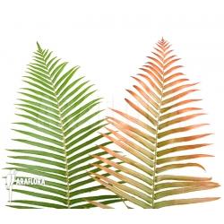 Leafes of Brainea insignis (treefern)