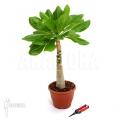 Hawaii palm 'Brighamia insignis' 'L'