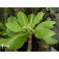 Hawaii palm 'Brighamia insignis' 'M'