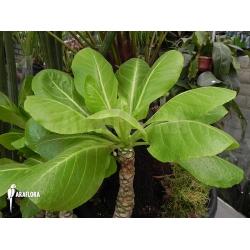 Brighamia insignis 'Hawaiian palm'