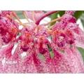 Orchidee 'Bulbophyllum eberhardtii' 'M'