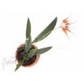 Orchidee 'Bulbophyllum tingabarinum'