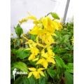 Tuin orchidee 'Calanthe sieboldii'