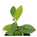 Theeplant 'Camellia sinensis'
