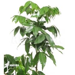 Castanospermum australe