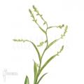 Bromelia 'Catopsis morreniana'