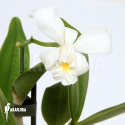 Cattleya x Blondy