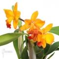 Orchidee 'Cattleya 'orange passion''