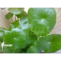 Centella asiatica waternavel