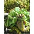 Australische bekerplant 'Cephalotus follicularis' 'Giant'