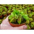 Australische bekerplant 'Cephalotus follicularis' 'XL'