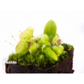 Australische bekerplant 'Cephalotus follicularis 'plug'