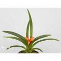 Orchidee 'Ceratostylis retisquama 'Rubra' starter