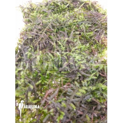 Vesicularia montagnei 'Christmas moss'