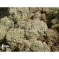 Gedroogd rendiermos 'Cladonia evansii'