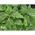Koffieplant 'Coffea arabica' (M)