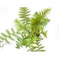 Boomvaren 'Cyathea australis' 'Starter'