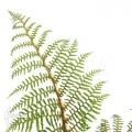 Boomvaren 'Cyathea tomentosissima' (S)