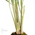 Lemongrass 'Cymbopogon citratus'