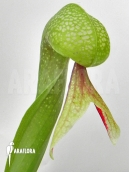 Darlingtonia (Cobralelie)