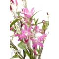 Orchidee 'Dendrobium Rainbow Dance (Karenai X unicum)'