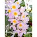 Orchidee 'Dendrobium amabile'