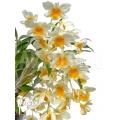 Orchidee 'Dendrobium griffithianum x farmeri'