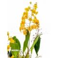 Orchidee 'Dendrobium lindleyi 'Aggregatum''