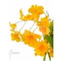 Orchidee 'Dendrobium lindleyi 'Aggregatum' starter