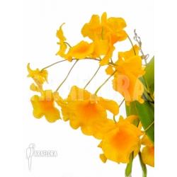 Dendrobium lindleyi 'Aggregatum'