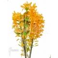 Orchidee 'Dendrobium x Nobile Orange'