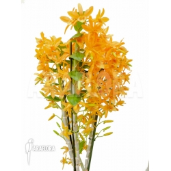 Dendrobium x Nobile Orange