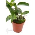 Orchidee 'Dendrobium rhodostictum'
