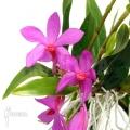 Orchidee 'Dendrobium sulawesiense'
