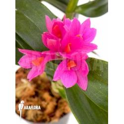 Dendrobium x Hibiki