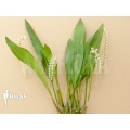 Orchidee 'Dendrochilum cobbianum'