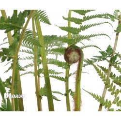 Dicksonia antarctica (S)