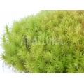 Tropisch kussenmos starter 'Dicranum species (Starter)'