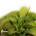 Groene venus vliegenval 'Dionaea muscipula'